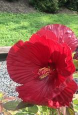 Hibiscus x Cranberry Crush, Mallow, #3