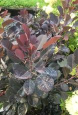 Cotinus coggygria Winecraft Black Smokebush, Winecraft black, #3