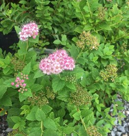 Spiraea jap. Little Princess Spirea, Little Princess, #3