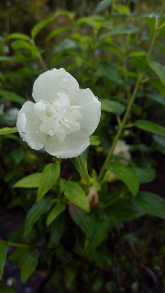 Philadelphus lem. x vir. Snowbe Mock Orange, Snowbelle, #3