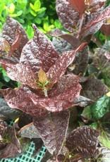 Calycanthus floridus Burgundy Spice Sweetshrub, Purple-Leaf, #3