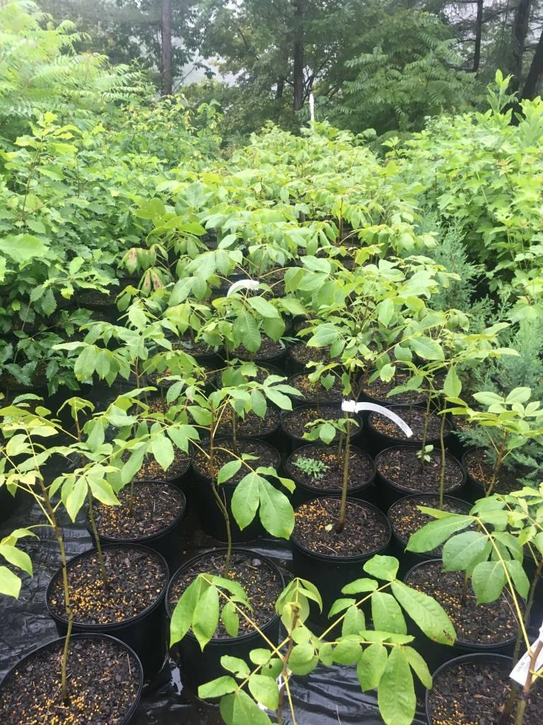 Carya laciniosa- Shagbark Shellbark Hickory