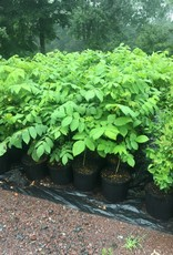 Native Tree Juglans cinerea Walnut - White or Butternut, #3