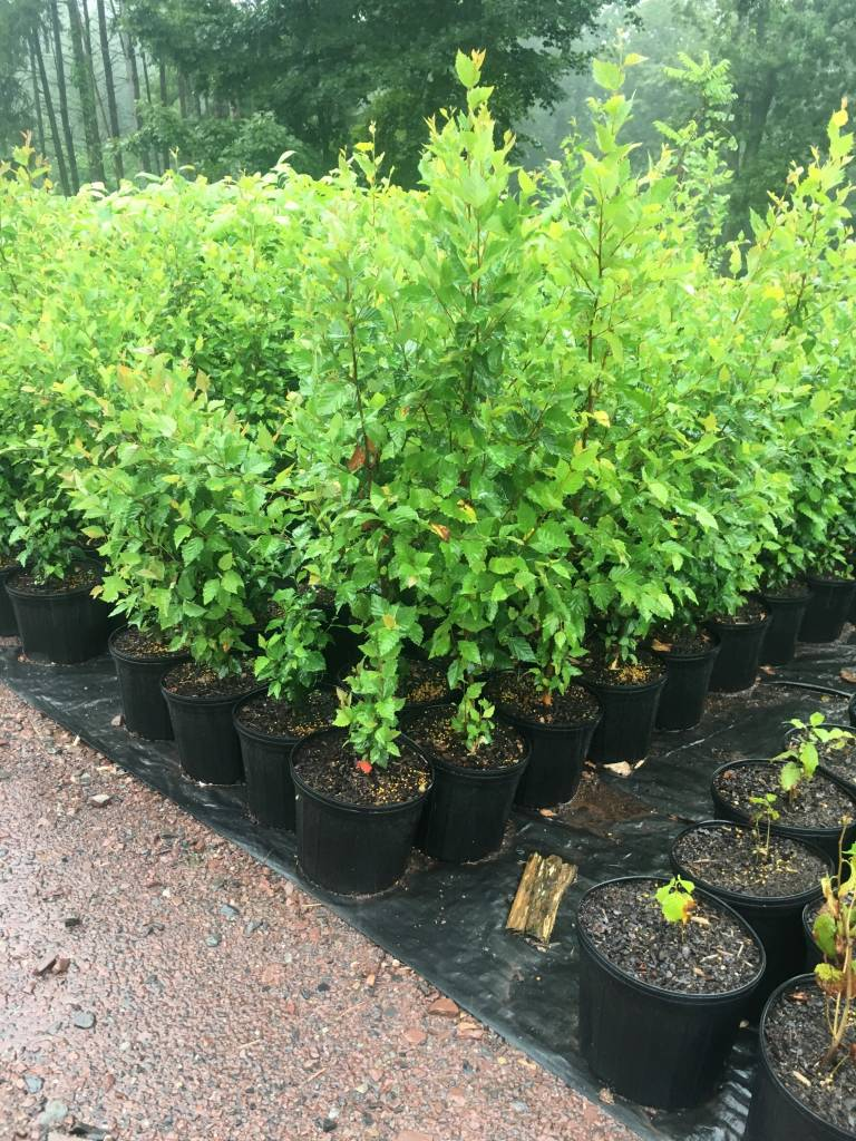 Native Tree Betula nigra Birch - River, #3