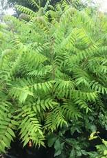 Native Tree Rhus typhina, Staghorn Sumac, #3
