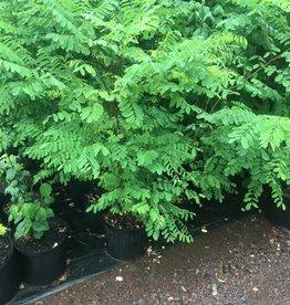 Native Tree Robinia pseudoacacia, Black Locust #3