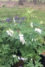 Dicentra spectabilis Alba Bleeding Heart, White, #2