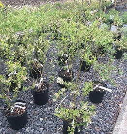 Vaccinium Blueberry, Blue crop, Patriot, Earli blue, Duke, Jersey, Chandler, Chippewa #2
