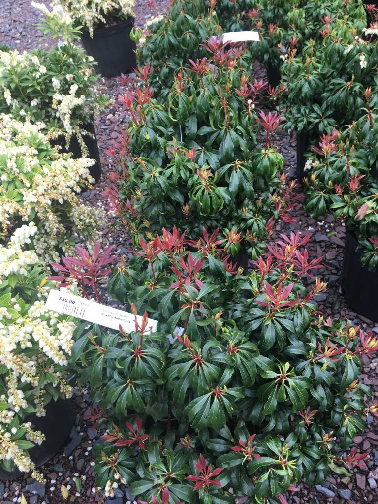 Pieris Japonica Red Mill, Andromeda Red Mill #3