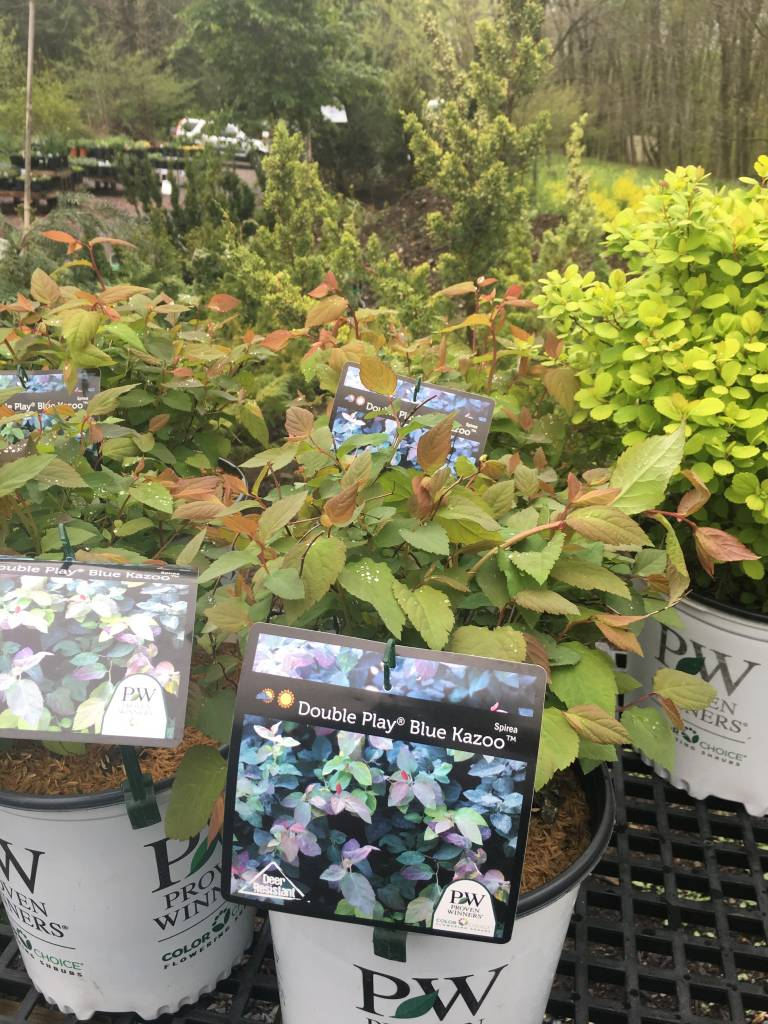 Spiraea x media SMSMDPBK Spirea, Double Play Blue Kazoo, #3