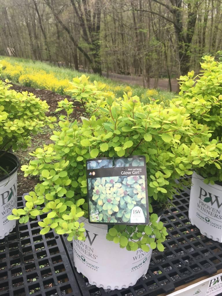 Spiraea betulifolia Tor Gold Spirea - Birch Leaf, Glow Girl, #3