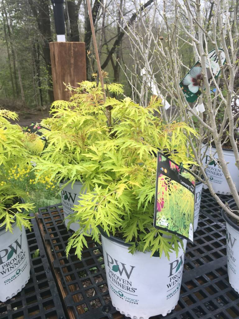 Sambucus racemosa SMNSRD4 Elderberry, Lemon Lace, #3