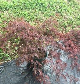 Acer palm. di. Tamyukeyama Maple - Japanese Threadleaf, Tamyukeyama, #10
