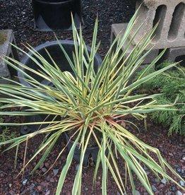 Yucca flaccida Bright edge Adam's Needle, Bright edge, #7