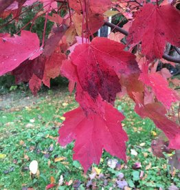 Acer rubrum Maple - Red, #10