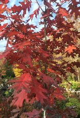 Native Tree Quercus rubra Oak, Red, #10