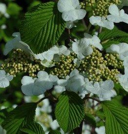 Viburnum p.t. Mariesii Viburnum - Doublefile, Mariesii, #7
