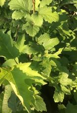 Nativar Shrub Viburnum trilobum Wentwoth Viburnum - American Cranberry Bush, Wentworth, #3