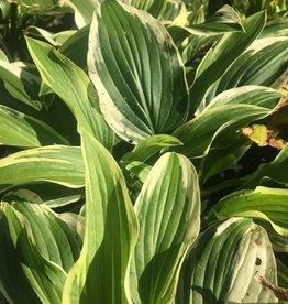 Hosta Antioch Plantain Lily,  #1
