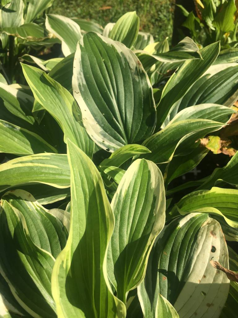 Hosta Antioch Plantain Lily,  #1