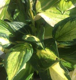 Hosta Eternal Flame Plantain Lily,  #1