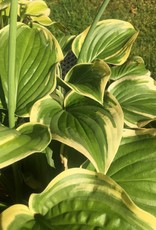Hosta Fragrant Dream, Plantain Lily, #1