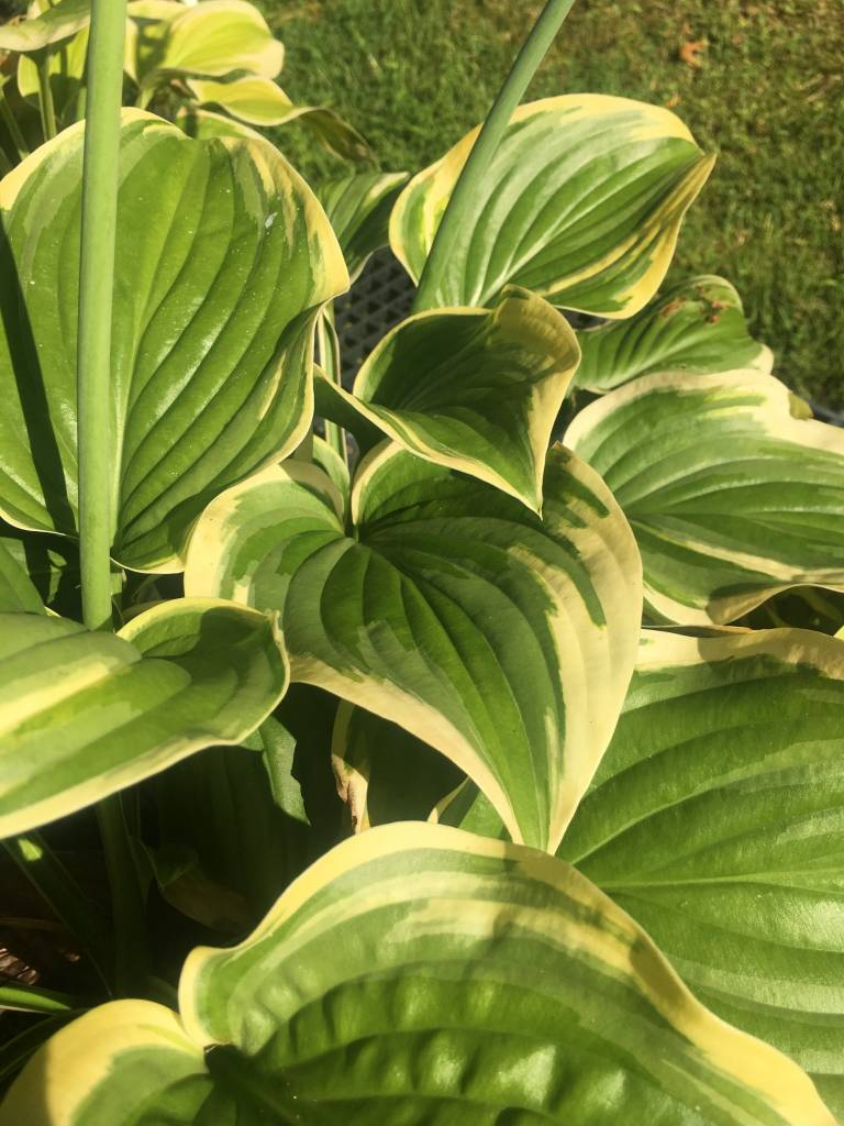Hosta Fragrant Dream, Plantain Lily, #1