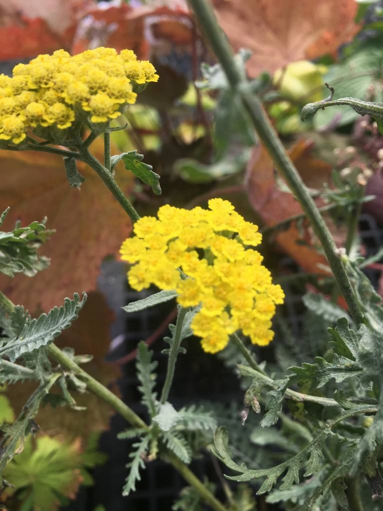 Achillea x Little Moonshine Yarrow, Moonshine, #1
