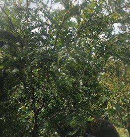 Gleditsia triacanthos Harve Honeylocust, Northern Acclaim, #15