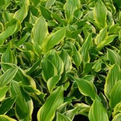 Hosta So Sweet Plantain Lily, So Sweet, #1