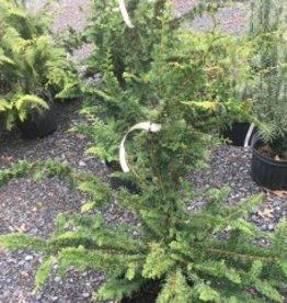Chamaecyparis ob. Filicoides False Cypress, Fernspray, #7