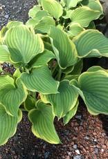 Hosta Sagae Plantain Lily, Sagae, #3