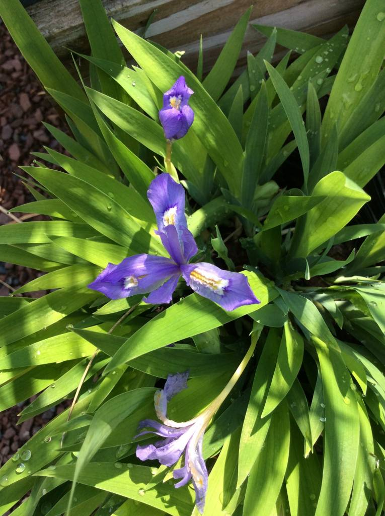 Iris cristata Iris, Dwarf Crested, #1