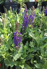 Salvia nemorosa Sallyrosa April Night, Sage Hardy #1