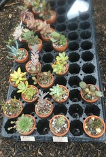 Cactus and succulents potted cactus or succulents, 1.5 ""