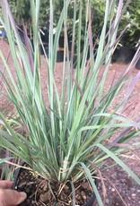Schizachyrium scoparium Standing Ovation Grass - Ornamental Little Bluestem, Standing Ovation, #1