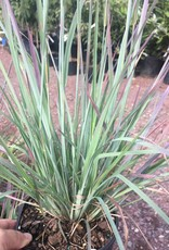 Schizachyrium Standing Ovation Grass - Ornamental Little Bluestem, Standing Ovation, #1