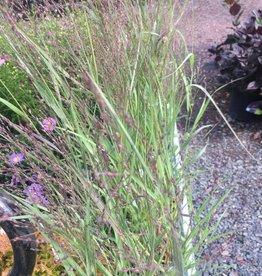 Panicum Apache Rose, Switch Grass # 1