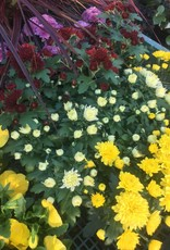 "Chrysanthemum hybrid Mum, Garden, 4"" pot"
