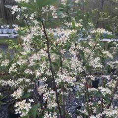 Aronia arb. Brilliantissima Chokeberry, Brilliantissima, #7