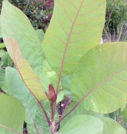 Native Tree Cotinus obovatus Smoketree, American, #10