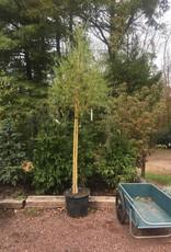 Salix niobe Willow - Niobe Gold Weeping, #15