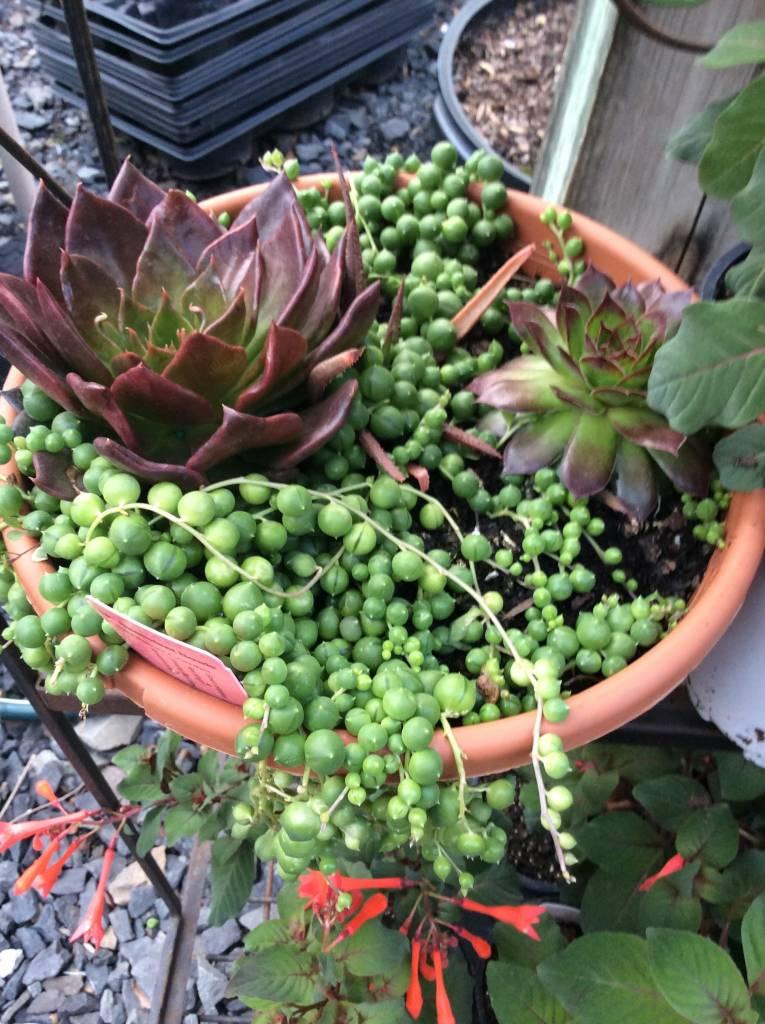 """Succulents, 10"""" mixed Bowl"""