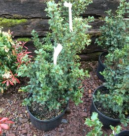 Ilex x Rutzan Holly - Blue, Red Beauty, #3