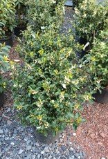 Ilex x meser. Blue Princess Holly - Blue, Blue Princess, #3