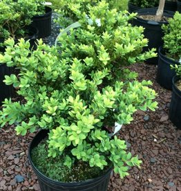 Buxus semp. Vardar Valley Boxwood, Vardar Valley, #3