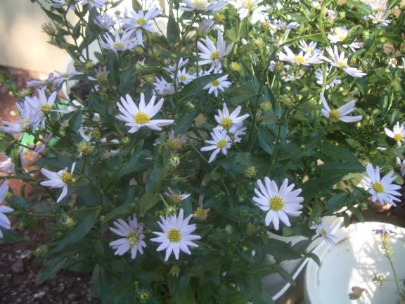 Kalimeris incisa Blue Star Daisy, Blue Star, #1