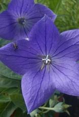 Platycodon gr. Popstar Blue Balloon Flower,  #1