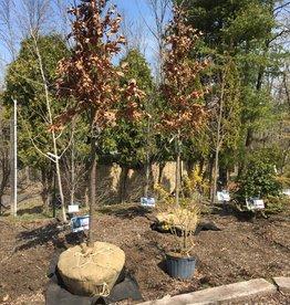 Quercus alba Oak, White, 2-2.5