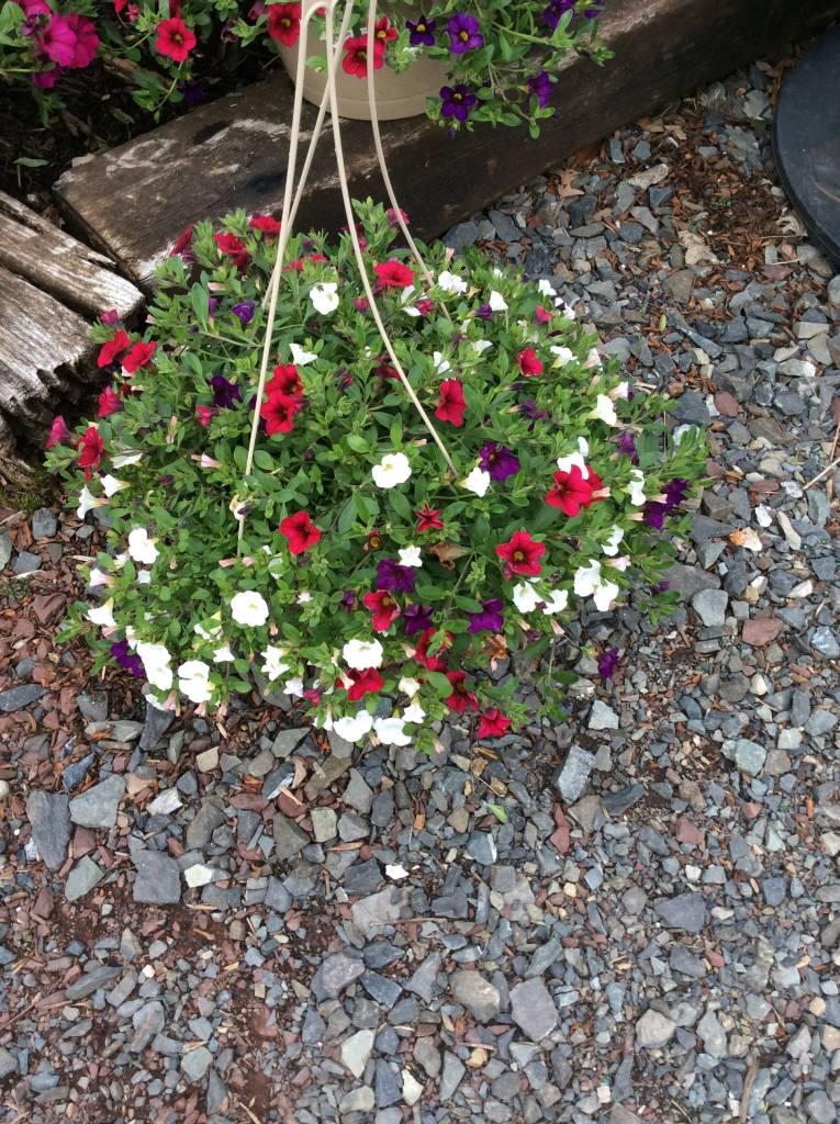 Annual, Hanging Basket Annual Premium mixed Hanging Basket,